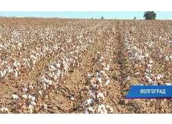 ВВолгоградской области собрали первый экспериментальный урожай хлопка