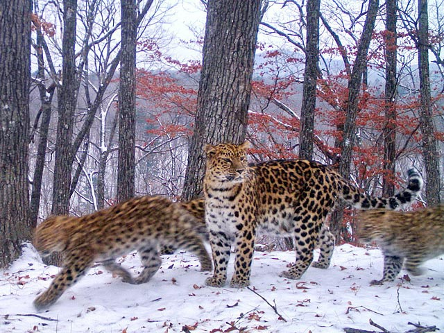 Мама Leo 37F Умка сопровождает троих котят
