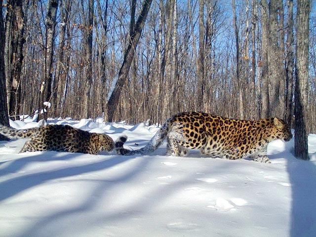 Leo 27F Алекса ведет двух котят через снега