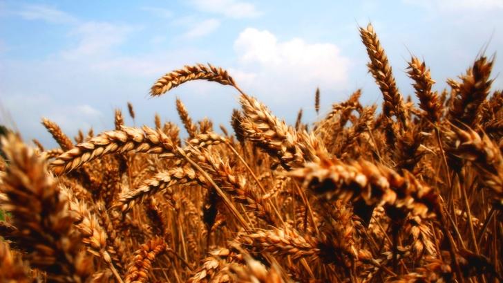Египет закупил на тендере только российскую пшеницу.