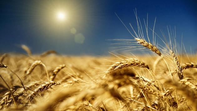 Картинки по запросу зерно поле пшеница картинки уборка урожая