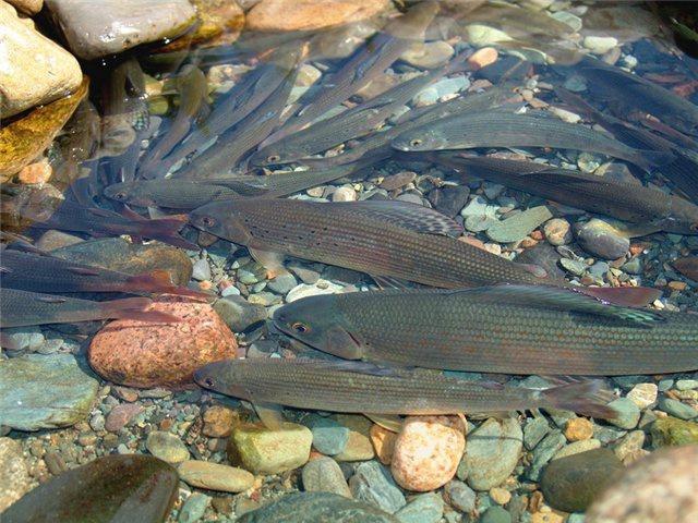 Рыбная молодь