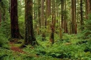 В Томской области перевыполнили план по восстановлению лесов в регионе