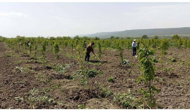 В Магарамкентском районе Дагестана идет закладка питомника плодовых культур