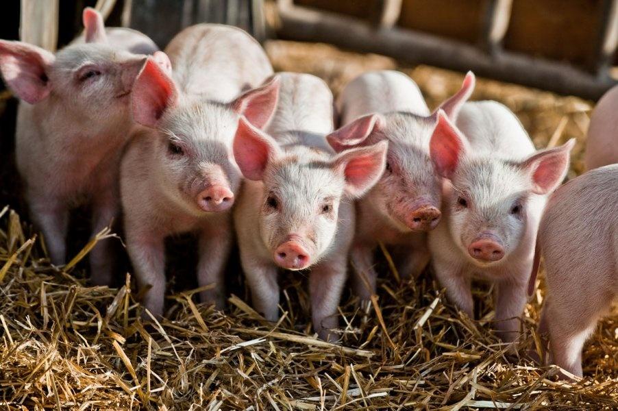 Свиноводство – одна из наиболее динамичноразвивающихсяподотраслейсельского хозяйства Республики Мордовия.