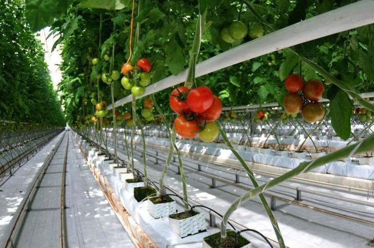 Минсельхоз России: сбор тепличных овощей вырос на 28,3%