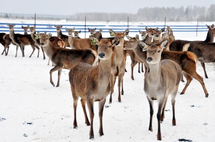 Впервые в Нижегородской области начали разводить благородных оленей как сельскохозживотных