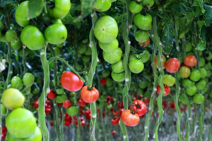 Минсельхоз России: на 21 августа сбор тепличных овощей вырос на 25%