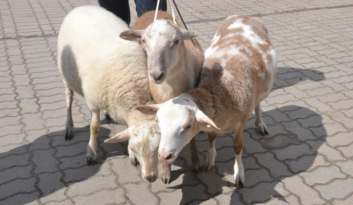 В Ленинградской области выведена новая порода овец