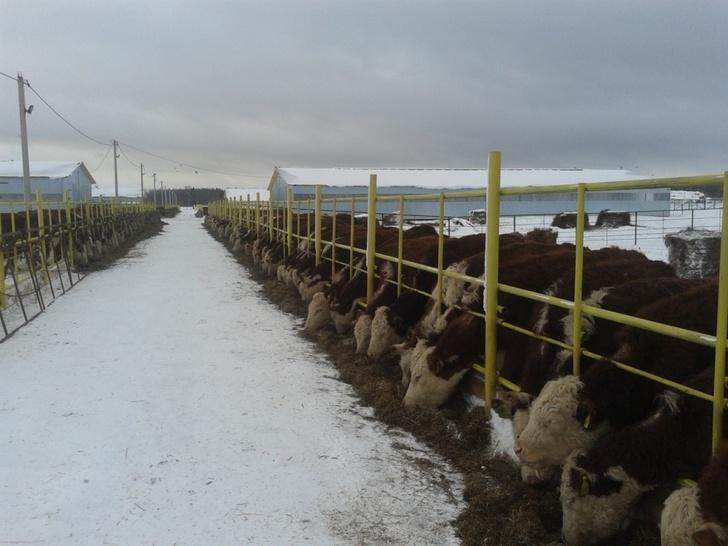 Новый животноводческий комплекс на 1200 голов введен в эксплуатацию в Нижегородской области