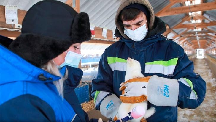 В Россельхознадзоре на примере норок показали, как прививают вакциной от коронавируса для животных