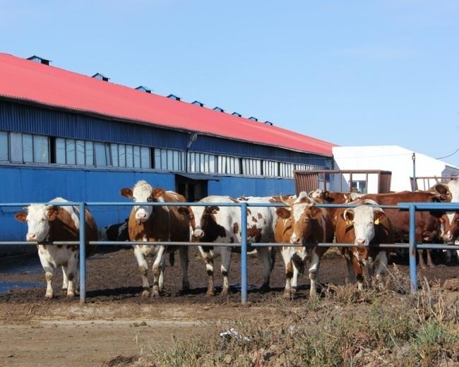 56 коров породы красноперстная приехали в колхоз «Луч» только 7 октября