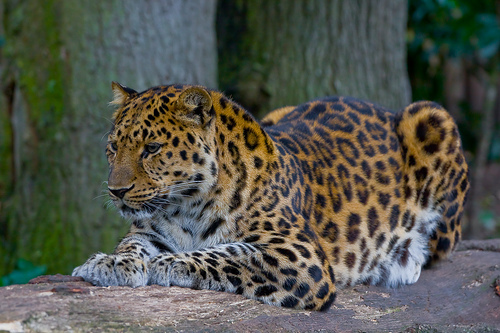 Амурский леопард с сайта wikipedia.org