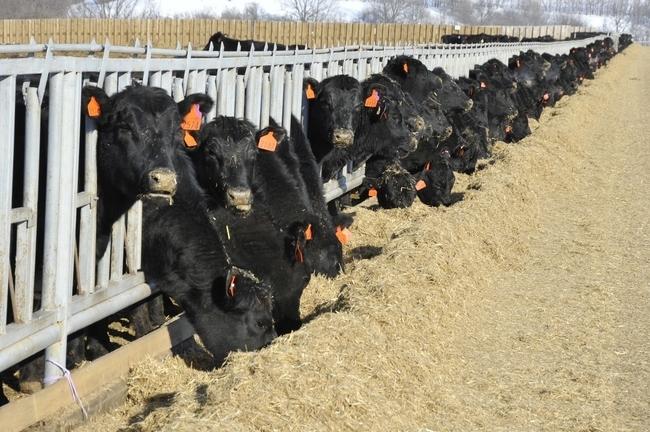 Новосибирская область усовершенствует программу мясного животноводства