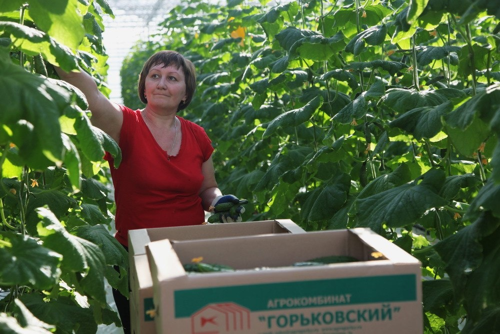 """теплицы ОАО Агрокомбинат """"Горьковский"""""""