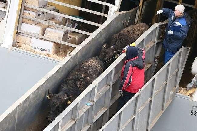 в ноябре для «Калининградской мясной компании» были доставлены более 4000 нетелей абердин-ангусской породы