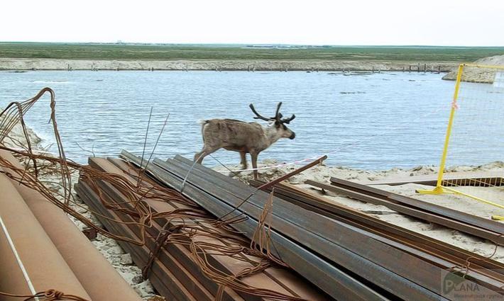 Северный олень на строительной площадке