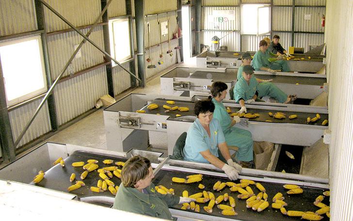 НПО «Семеноводство Кубани» с 2008 года занимается селекцией собственных гибридов кукурузы