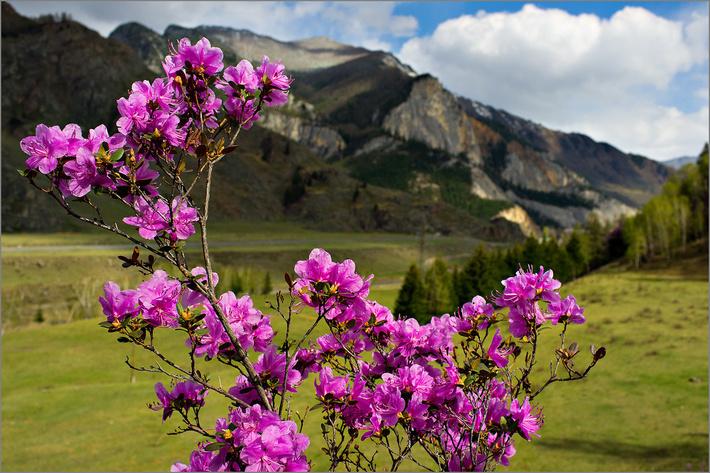 """Праздник """"Цветение маральника""""открывает летний сезон."""
