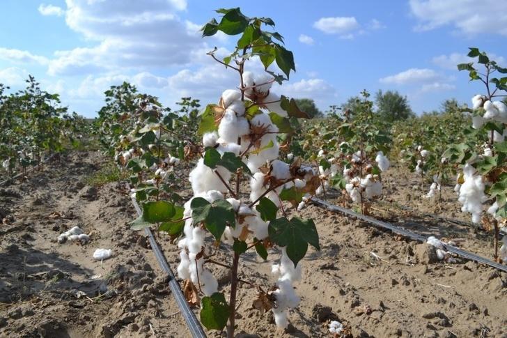 В Дагестане стартовал пилотный проект по выращиванию хлопка