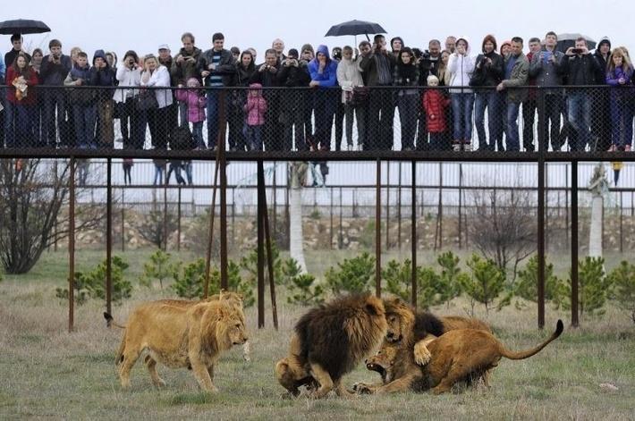 """В """"Тайгане"""" можно сфотографироваться с львятами на руках!"""