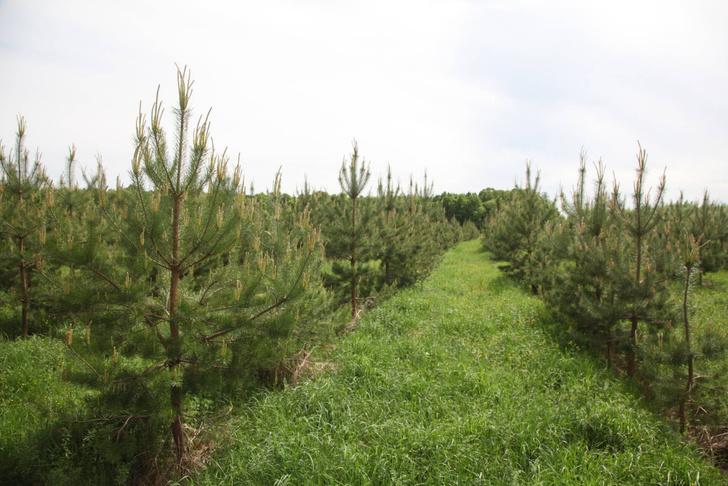 высадка деревьев в Тетюшском лесничестве