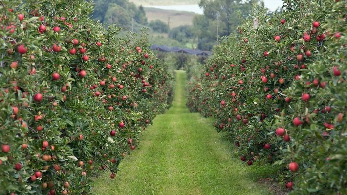 Яблочный бум. В Краснодарском крае заложили интенсивный сад