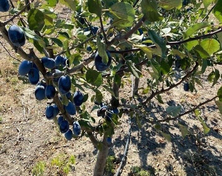 новый сливовый сад на площади 30 гектаров ООО «Исцеляющий источник»