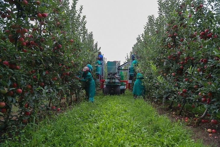 «Сад-Гигант» в Ингушетии почти удвоил урожай яблок