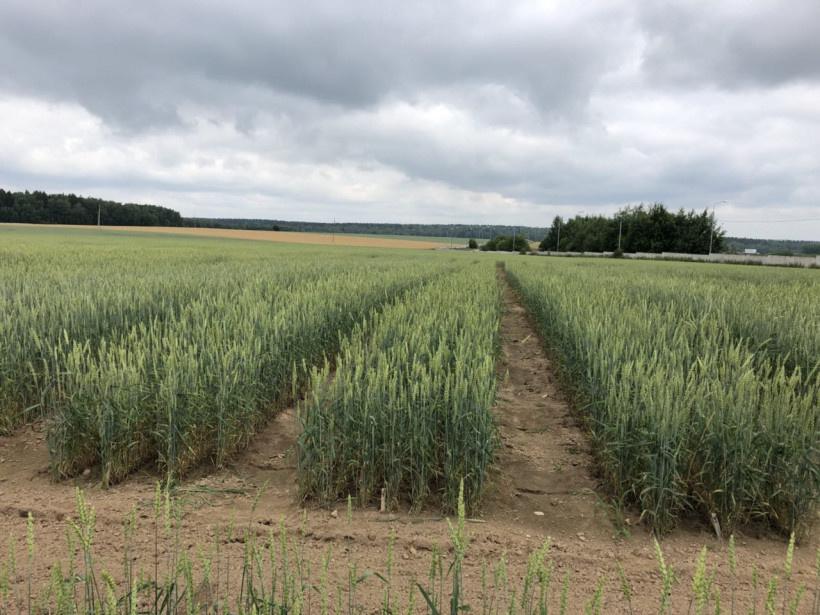 поля засеянные пшеницей занималикак узнать сколько осталось интернета на мтс