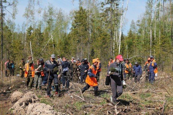 Серовское лесничество. Лесовосстановление.