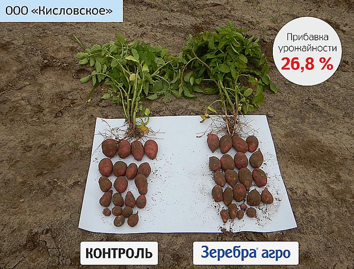 Картофель после обработки. ООО «Кисловское» Томская область
