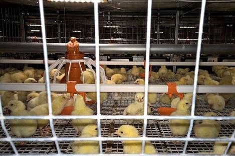 Пять обновленных корпусов на «Удмуртской птицефабрике» введены в эксплуатацию