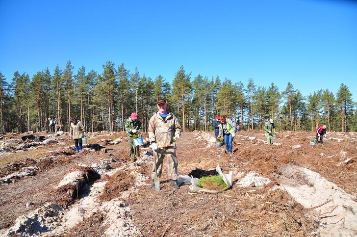 Всероссийский день посадки леса на Псковщине