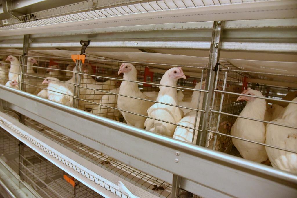 Картинки по запросу птицефабрике «Островная»