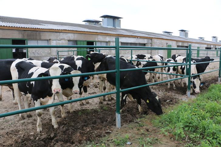 площадка для откорма бычков голштино-фризской породы в деревне Ручьи Конаковского района Тверской области