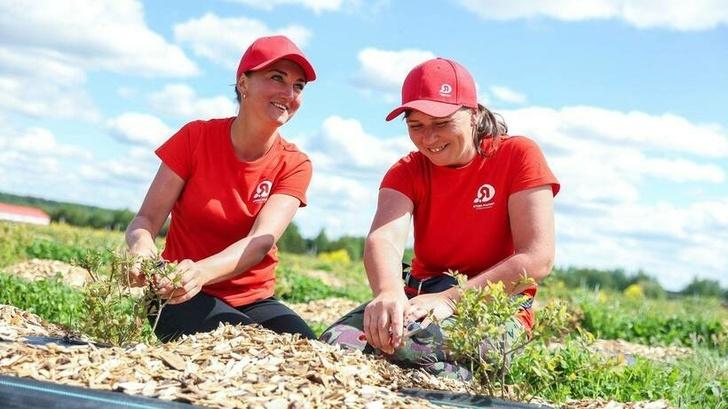 Хозяйство «Ягода-Малина» высадило 11 га голубики в Московской области