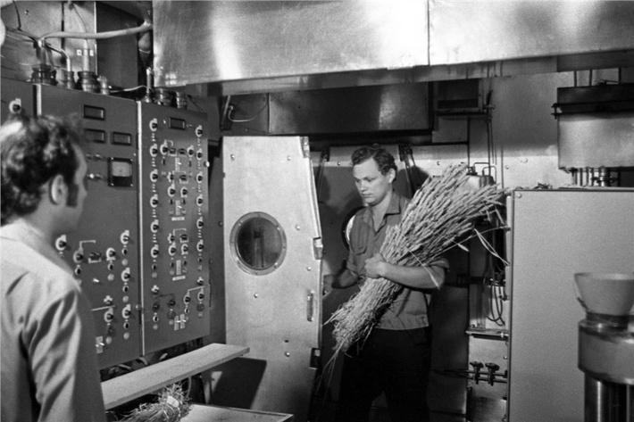 В установке «БИОС-3» с собранным урожаем пшеницы. Готовят обмолот в специально сконструированной для этого эксперимента мельнице, фото 1973 года.