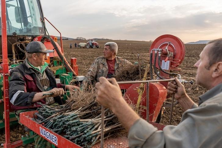 Аграрии Севастополя за весну заложили почти 300 гектаров виноградников