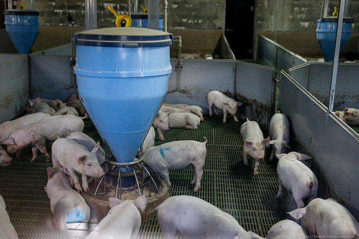 «Прибалтийская мясная компания три» запустила 1-ю очередь свиноводческого комплекса полного цикла