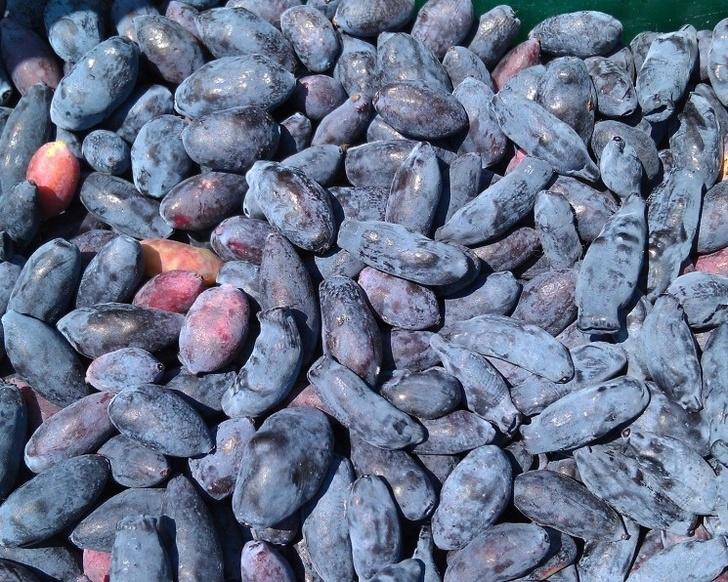 «Рассвет» посадил жимолость на 40 гектарах в Нижегородской области. И 110 га других ягод