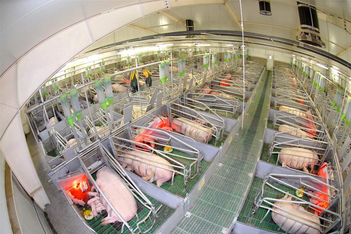 Минсельхоз России: производство продукции свиноводства в текущем году выросло на 5,7%