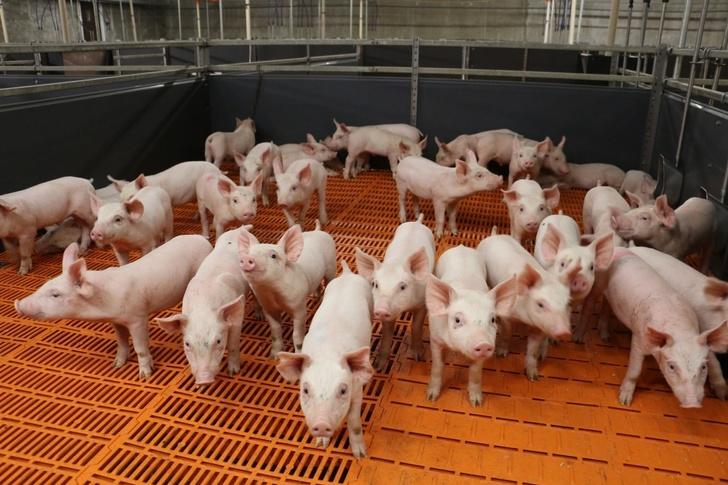 «АгроПромкомплектация» запускает свинокомплексы в Курской области