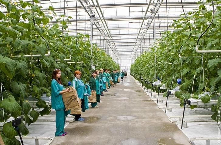 В 2017 году производство тепличных овощей выросло на 17%