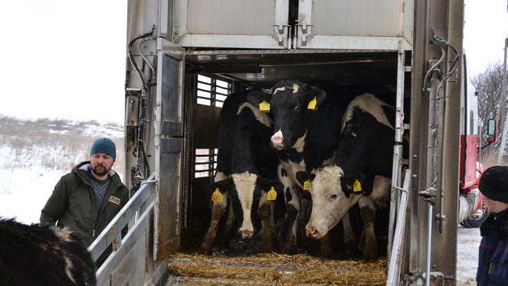 На новый молочный комплекс в Рязанской области доставлены 2900 коров голштинской породы