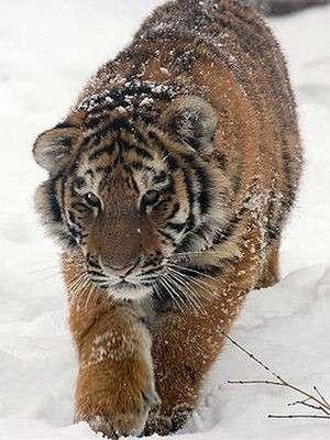 Амурский_тигр