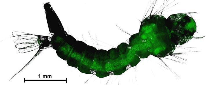Личинка комара с конидиями гриба в кишечнике