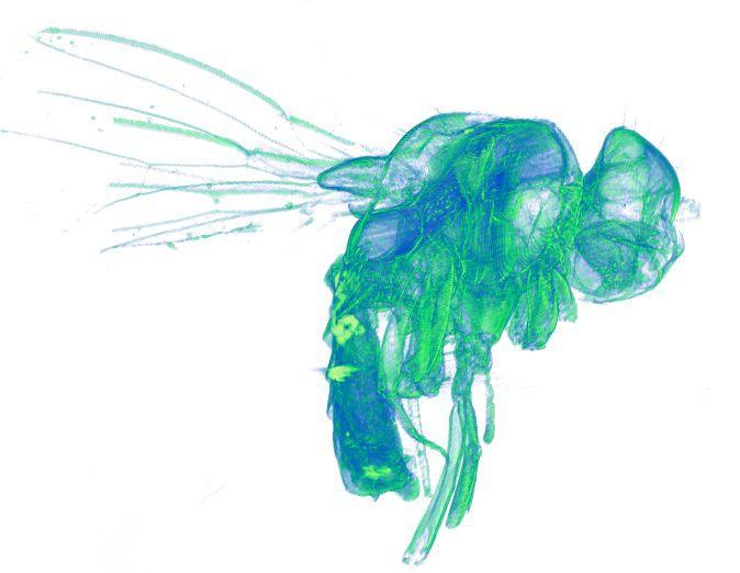 Муха дрозофила