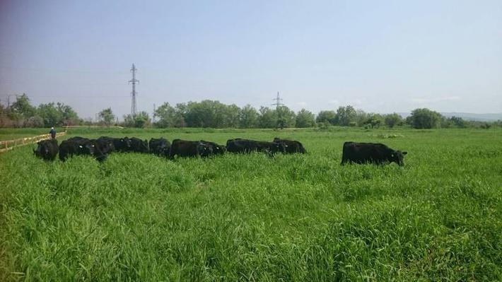 45 животных породы абердин-ангус впервые вышли на поля в Угегорском районе после двухнедельного пребывания в карантине