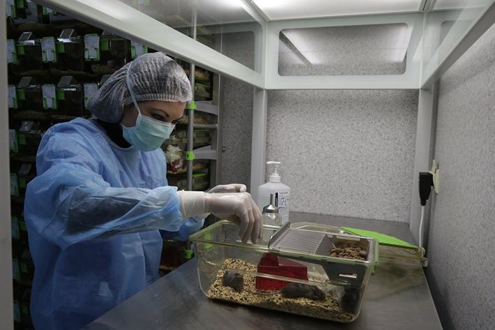 © Фото: Максим Скулачев Ученый кормит мышей, участвующих в экспериментах по замедлению старения